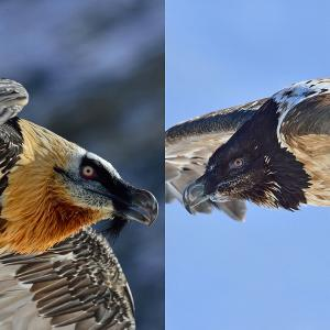 Adult (left) und young Bearded Vulture